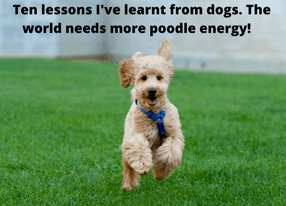 ten life lessons from poodles